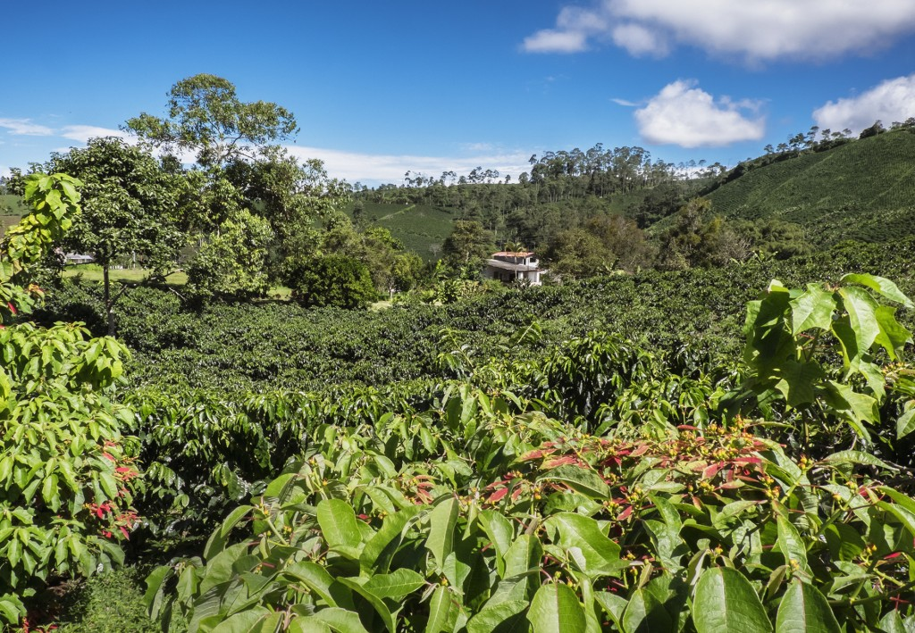 Coffee plantation in Libano, Colombia